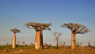 আফ্রিকার প্রাচীন গাছগুলো মরে যাওয়ায় চিন্তিত বিজ্ঞানীরা