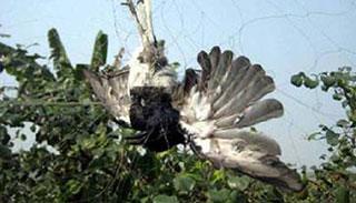 কারেন্ট জালে ক্ষেত-খামারে নির্বিচারে পাখি নিধন