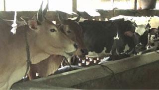 ভোলায় প্রাকৃতিক উপায়ে গরু মোটাতাজাকরণে ব্যস্ত খামারিরা