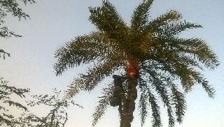 ঐতিহ্যের খেজুর রস সংগ্রহে ব্যস্ত বদলগাছীর গাছিরা