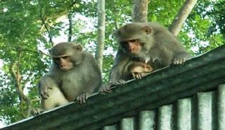 গাজীপুর শহরে ঘুরে বেড়াচ্ছে ক্ষুধার্ত বানরের দল