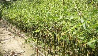 ধামইরহাটে কঞ্চি-কলম থেকে বাঁশ উৎপাদনে বিপ্লব