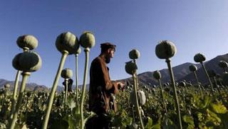 আফগানিস্তানে আফিম উৎপাদন ৪৩% বেড়েছে: জাতিসংঘ