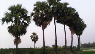 দশ লাখ তালগাছ দিয়ে বজ্রপাত ঠেকানোর পরিকল্পনা
