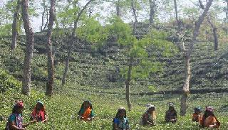 চা শ্রমিকদের বেদনাবিদূর 'মুল্লুক চলো দিবস'