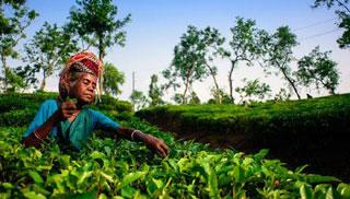 কমলগঞ্জে চা শ্রমিক সমাবেশে মজুরি বৃদ্ধির দাবি