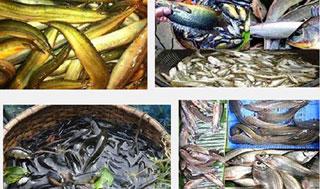 দক্ষিণাঞ্চলে দেশীয় প্রজাতির অর্ধশত মাছ বিলুপ্তির পথে