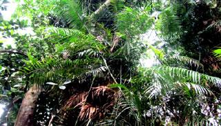 বিলুপ্তির পথে ঝালকাঠির বেত বাগান, ভারসাম্য হারাচ্ছে পরিবেশ