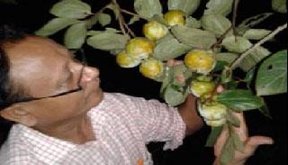 নাটোরে পাওয়া যাচ্ছে জাপানের জাতীয় ফল পার্সিমন