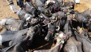 ভোলার চরাঞ্চলে ঘাসের তীব্র সংকট : মারা যাচ্ছে মহিষ