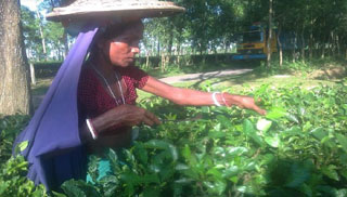 কাঁচাপাতা চুরি : চায়ের উৎপাদন বিপর্যয় নিয়ে শঙ্কা