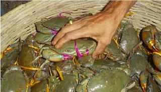 ভোলার চরাঞ্চলে কাকড়া চাষ : সাবলম্বী হাজারো পরিবার