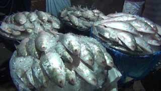 চাঁদপুরের মাছ বাজারে শত শত মণ ইলিশ
