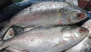 জাতীয় মাছ ইলিশের মূল্য ও প্রাচুর্য