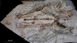 নিউজিল্যান্ডে ৬০ মিলিয়ন বছর আগের বৃহৎ পেঙ্গুইনের ফসিল আবিষ্কার