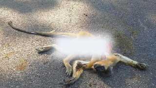 লাউয়াছড়ায় গাড়ি চাপায় বিরল প্রজাতির হনুমানের মৃত্যু
