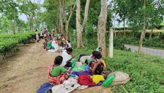 চা বাগানে স্বাস্থ্যবিধির বালাই নেই: ঝুঁকিতে শ্রমিকরা