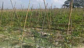 কমলগঞ্জে গ্রাফটিং পদ্ধতিতে টমেটো চাষে স্বাবলম্বী হচ্ছে কৃষক