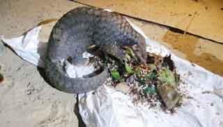 ১৫ ঘন্টা রুদ্ধশ্বাস অভিযানে উদ্ধার বিরল প্রজাতির বনরুই