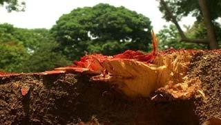 সোহরাওয়ার্দী উদ্যানের গাছ কাটা বন্ধে নোটিশ