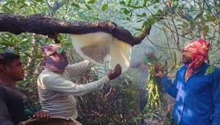 গাছের ঘনত্ব বাড়ায় সুন্দরবনে মধু ও মোম উৎপাদন বেড়েছে