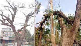 যশোর-বেনাপোল মহাসড়কের শতবর্ষী ৩০টি শিশুগাছ ঝুঁকিপূর্ণ